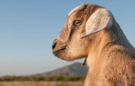 baby_goat_in_margarita_island2c_venezuela